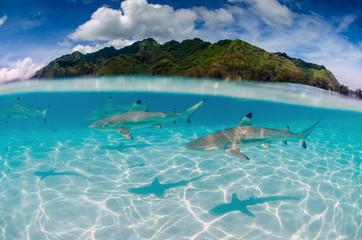Rekiny rafowe Black Tip pływają wokół Moorea na Polinezji Francuskiej