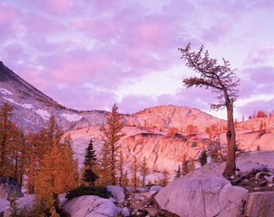 WA, Alpine Lakes Wilderness, Enchantment Lakes, sunrise at Magic Meadow with old modrzew tree