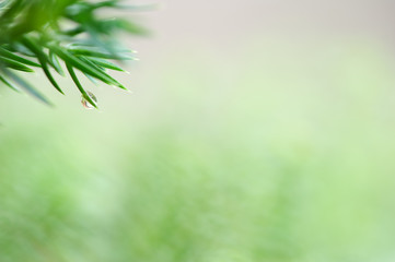Raindrop on fir needles. Selective focus and shallow depth of field.