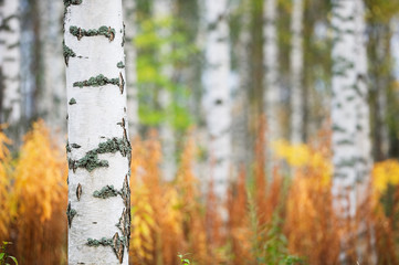 Birch tree (Betula pendula) trunk against autumn forest background