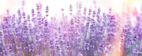 Selective and soft focus on lavender flower, lavender flowers lit by sunlight in flower garden