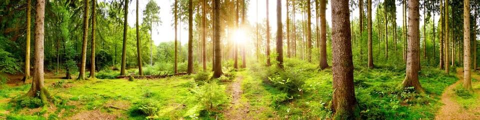 Jasna panorama lasu w świetle wschodzącego porannego słońca wpadającego przez drzewa
