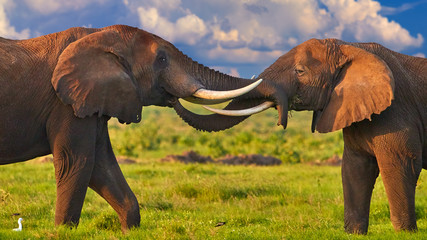 African safari at the foot of a volcano Kilimanjaro, green season in Amboseli national park. Portrait of two huge african elephants, touching their trunks to each other against dramatic sky. Kenya.