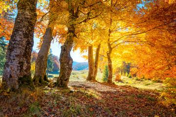Krajobraz złotej jesieni lasu z dużymi żywymi drzewami