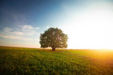 Samotny zielony dąb w polu