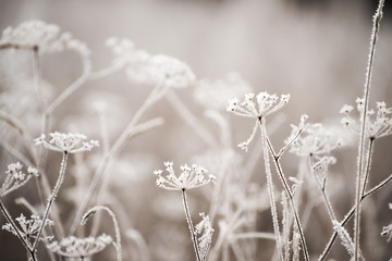 Dried flowers in a meadow in white hoarfrost. Magic photo of white hoarfrost on plants. soft selective focus.