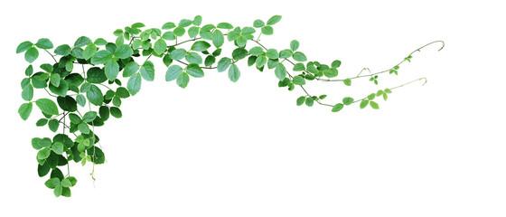 Krzaka winogrono lub liściasty dziki winogradu cayratia liana bluszcza rośliny krzak, natury dżungli ramowa granica odizolowywająca na białym tle, ścinek ścieżka zawierać. (Cayratia trifolia)