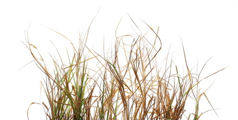 Dry, withered grass isolated on white background with clipping path