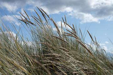 Strandhafer wiegt sich im wind an der Küste