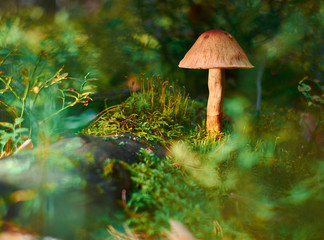 The poisonous fungus grows among green grass and moss on a blurred background.
