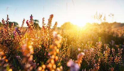 Naturalne tło z małych różowo-liliowych kwiatów wrzosu lub kwiatów Calluna vulgaris o zachodzie słońca. Nieostrość.