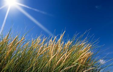 dune grass with a blue sky