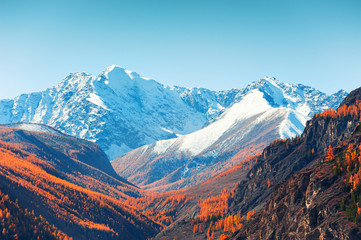 Snow-covered mountain peaks and yellow autumn trees. View of North-Chuya ridge in Altai, Siberia, Russia