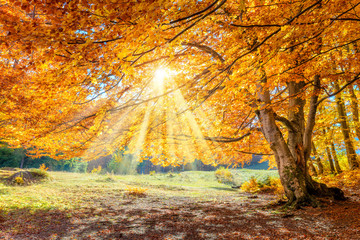 Autumn landscape - big forest golden tree with sunlight on sunny meadow