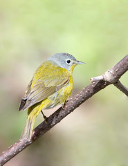 Nashville Warbler, on territory during migration in Upper Peninsula, Northern Michigan