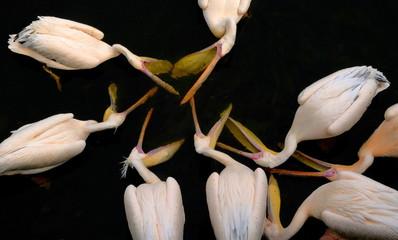 Wielki biały pelikan Pelecanus Onocrotalus znany również jako wschodni biały pelikan, różowy pelikan lub biały pelikan, duże ptaki, woda pitna dla ptaków