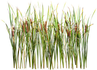 Cattail and reed plant isolated on white background