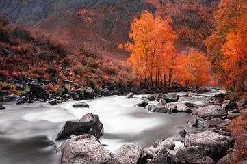Yellow autumn forest and river in the mountains. Altai, Siberia, Russia. Long exposure shoot