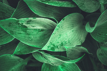 Beautiful vegetable background from the leaves of Hosta after a rain. Wallpaper
