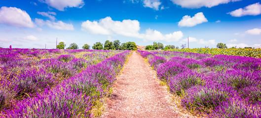 Lawendowe pole w Prowansji we Francji. Panoramiczny widok krajobrazu ze ścieżką między kwitnących fioletowych kwiatów lawendy.