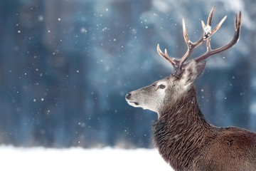 Noble deer male in winter snow forest. Winter christmas image. Copy space.