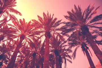 Rzędy tropikalnych palm na tle nieba słońca. Sylwetka wysokich palm. Krajobraz tropikalny wieczór. Naturalny krajobraz.