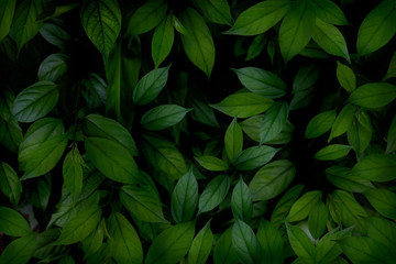 Green leaf background. Tropical leaves in the morning.Abstract green leaves texture and wallpaper,environment,good air.photo concept nature and plant.