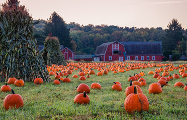 Pumpkins placed for picking near red barn in early morning dew grass, Sparta, NJ