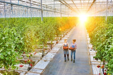 Young female farmers carrying tomatoes in crate with yellow lens flare in background