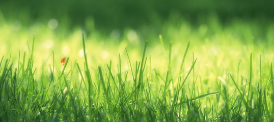 resh green grass on a meadow in the sunlight, ladybug on the grass, macro, spring summer natural image. Panoramic view..