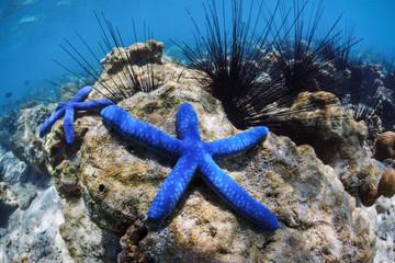 Two blue sea stars lie on the bottom of the sea among sea urchins.