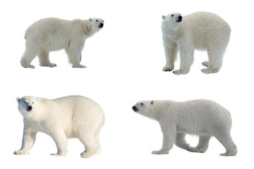 Set of four images of Polar bear (Ursus maritimus) isolated on white background