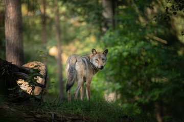 wolf in the wild during Sunrise