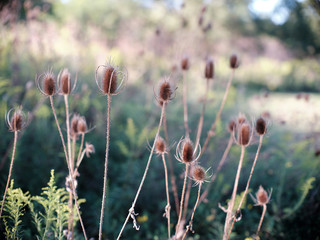 Common Teasel Invasive Plant Species