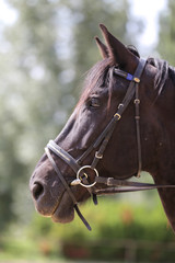 Head shot of a purebred saddle horse against green natural background