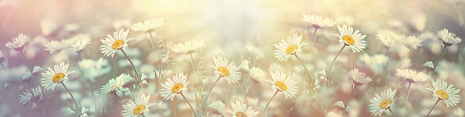 Selekcyjna i miękka ostrość na stokrotka kwiacie w łące, piękna natura na wiosnę