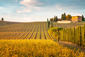 Golden vineyards in autumn at sunset, Chianti Region, Tuscany, Italy