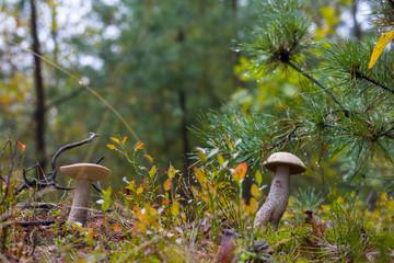 autumn Leccinum mushrooms grows