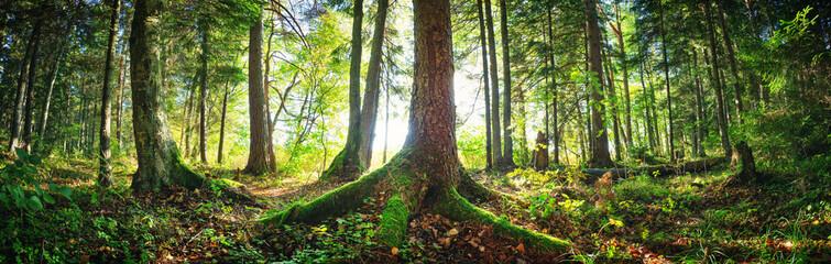 Jodły lasy wczesnym rankiem z pięknym światłem słonecznym