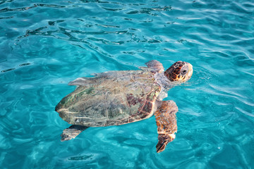 Caretta Caretta Turtle from Zakynthos, Greece, near  Laganas beach, emerges to take a breath