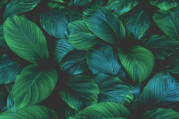 liście Spathiphyllum cannifolium, streszczenie tekstura zielony, tło natura, tropikalny liść