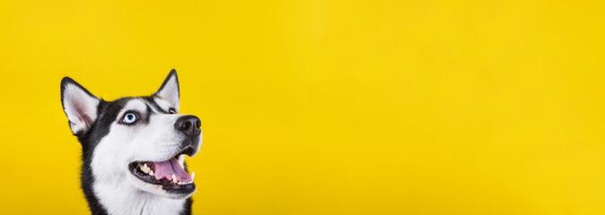 Smiling bi-eyed husky dog wait dog treats on the yellow background. Smiling dog is wait for food.