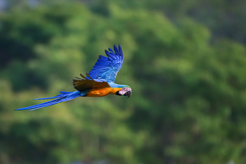 Blue-and-yellow macaw in flight to the right against defocused forest background, San Jose do Rio Claro, Mato Grosso, Brazil