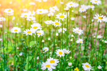 Chamomile field. Chamomile. Garden chamomile ordinary. Floral background.
