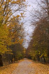 Autumn way with yellow trees on both sides. Podlachia. Poland