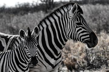 Zebre au par national d'etosha en namibie