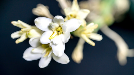 Isolated close up tuberose flower