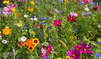 colorful rich flowering meadow in the alps in summer