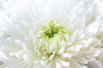 Background made of close up view on white sumptuous big chrysanthemum with light green core. Vertical format