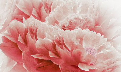 Floral halftone light red background. Flowers and petals of a light red peonies close up. Nature.